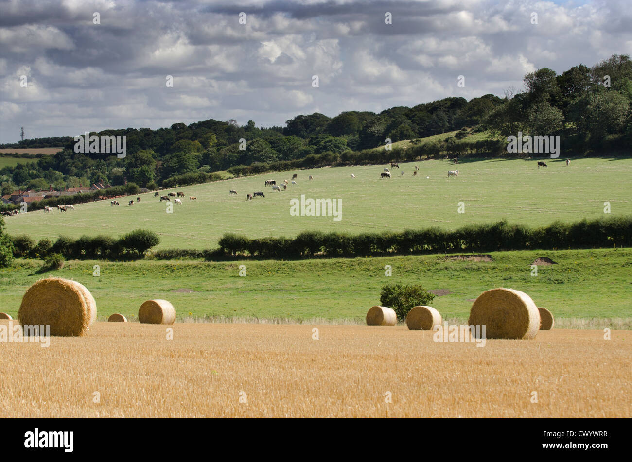 Straw bales on stubble field, with cattle grazing in distance, Stiffkey valley, Norfolk, UK - Stock Image