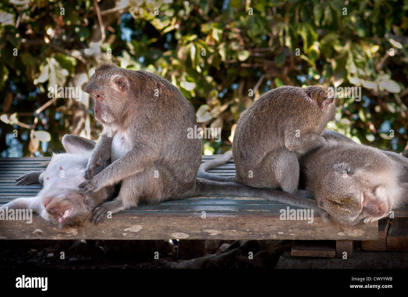 Macaque monkeys, grooming, in the grounds of the Pura Luhur Uluwatu temple on southern Bali's Bukit Peninsula, - Stock Image