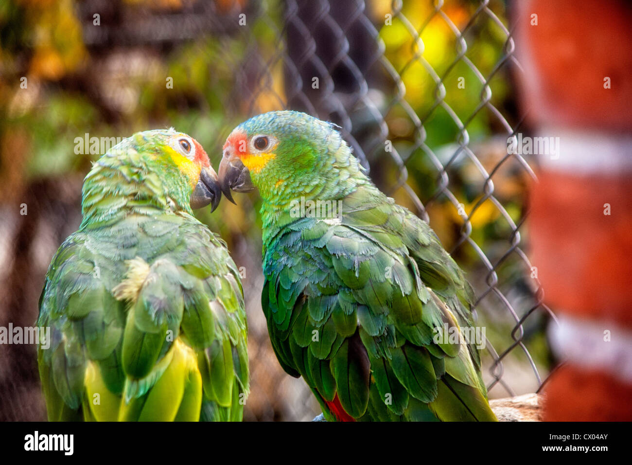Parrots in Parque Loro Zoo in Puebla, Mexico - Stock Image