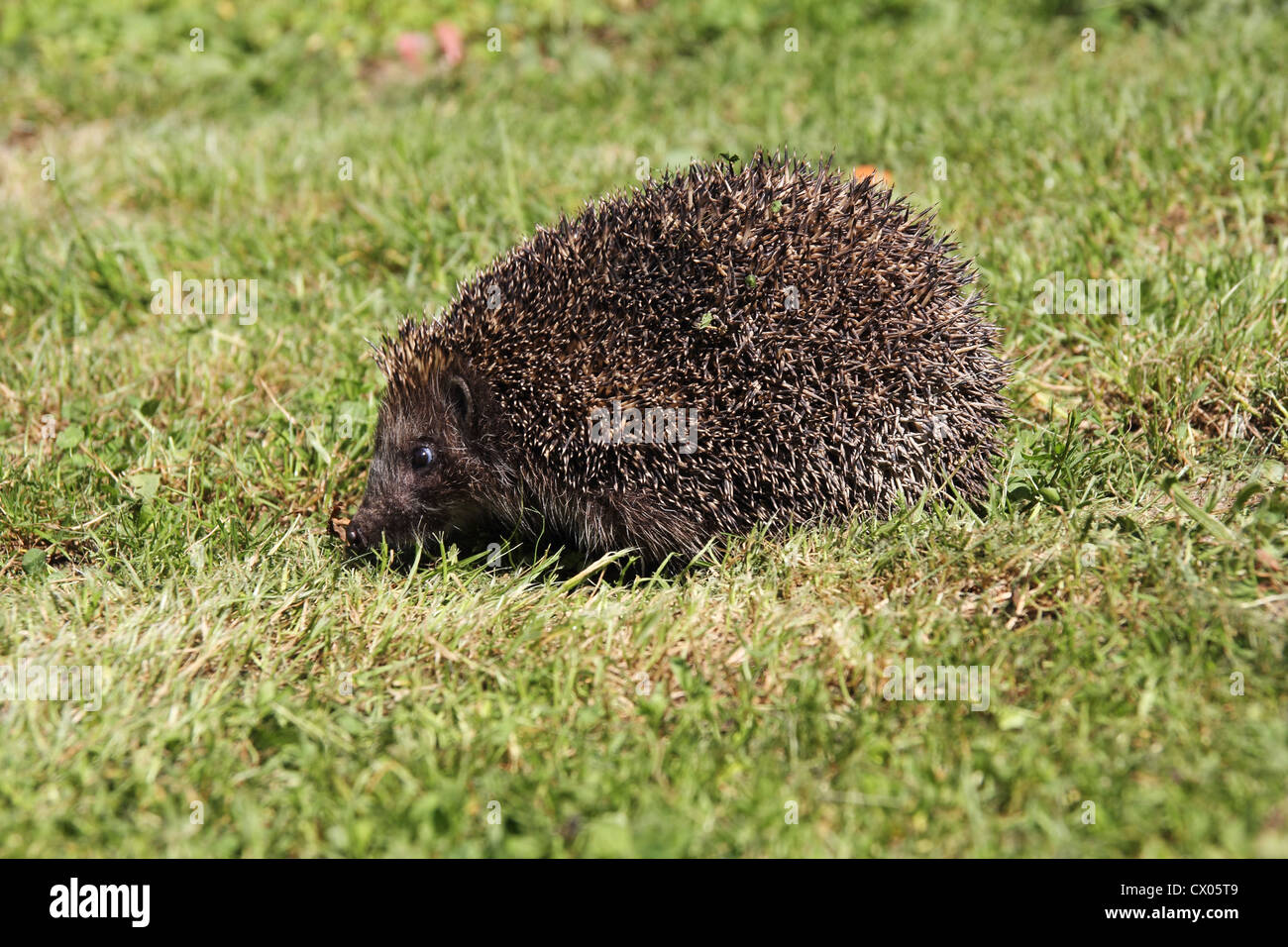 Young hedgehog sleeping in the grass - Stock Image