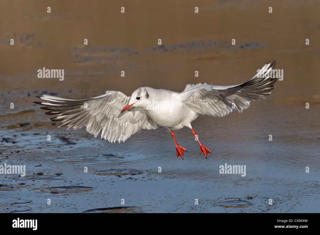 Black headed Gull, Larus ridibundus, Adult winter plumage bird taking off from an icy pool, Norfolk, December Stock Photo