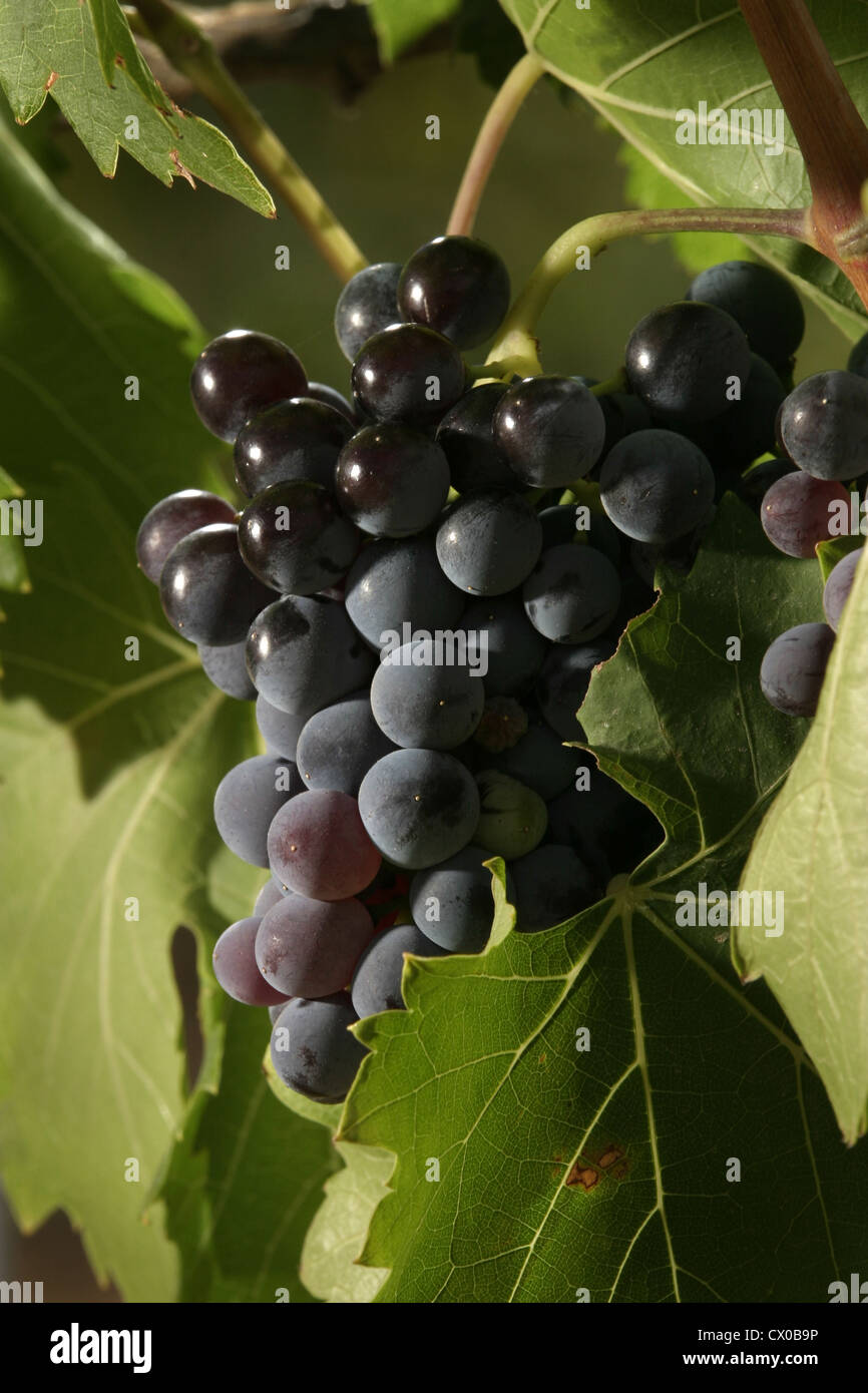 Picture: Steve Race - Grenache grapes (Clone VCR 3) ripening on the vine, Catalunya, Spain. - Stock Image
