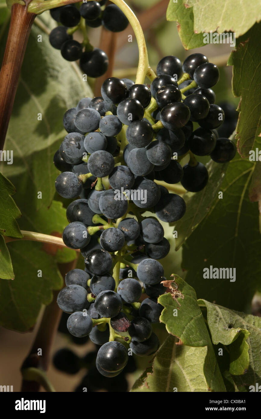 Picture: Steve Race - Syrah grapes (Clone 470) ripening on the vine, Catalunya, Spain. - Stock Image