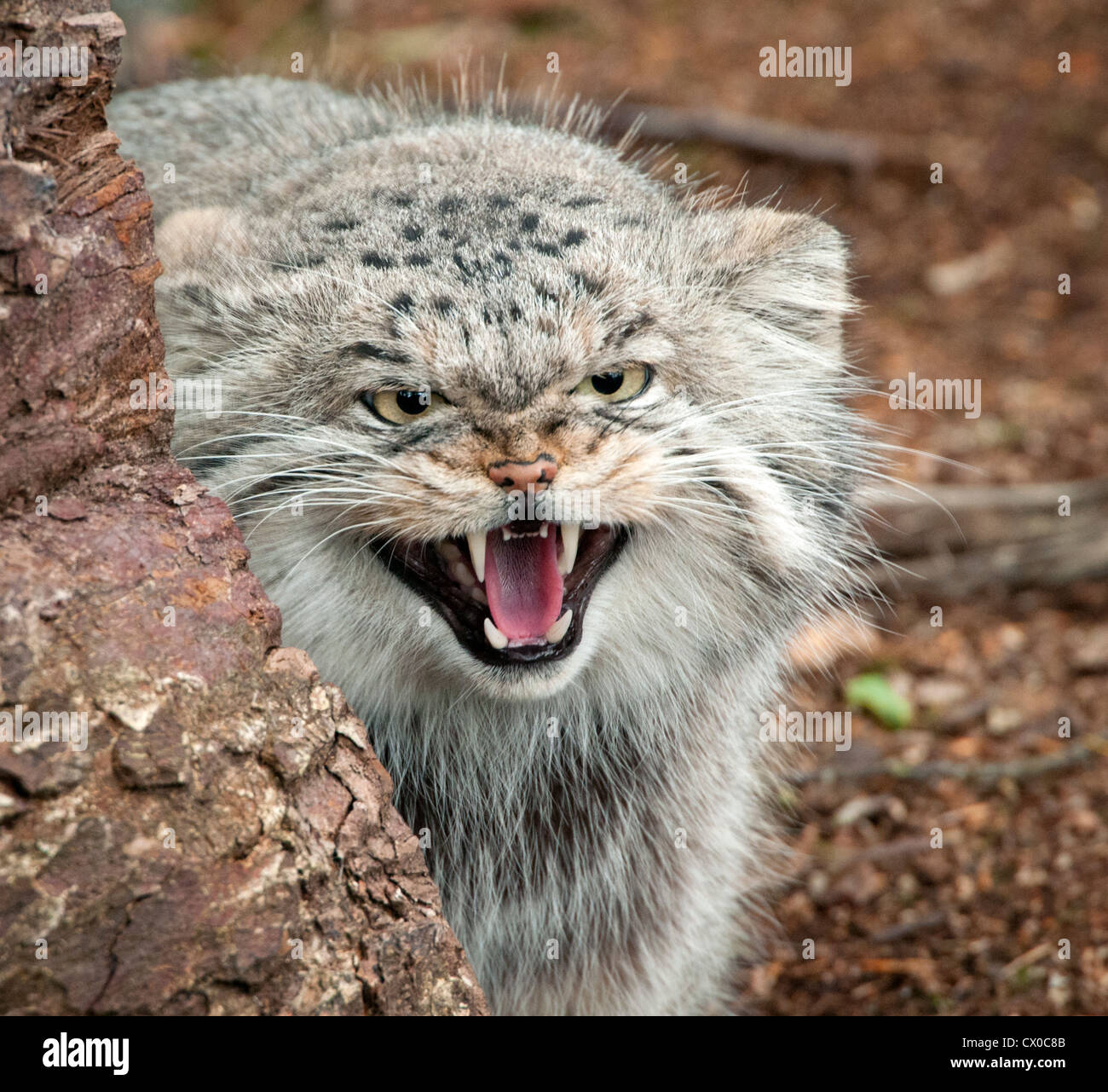 Pallas cat snarling - Stock Image