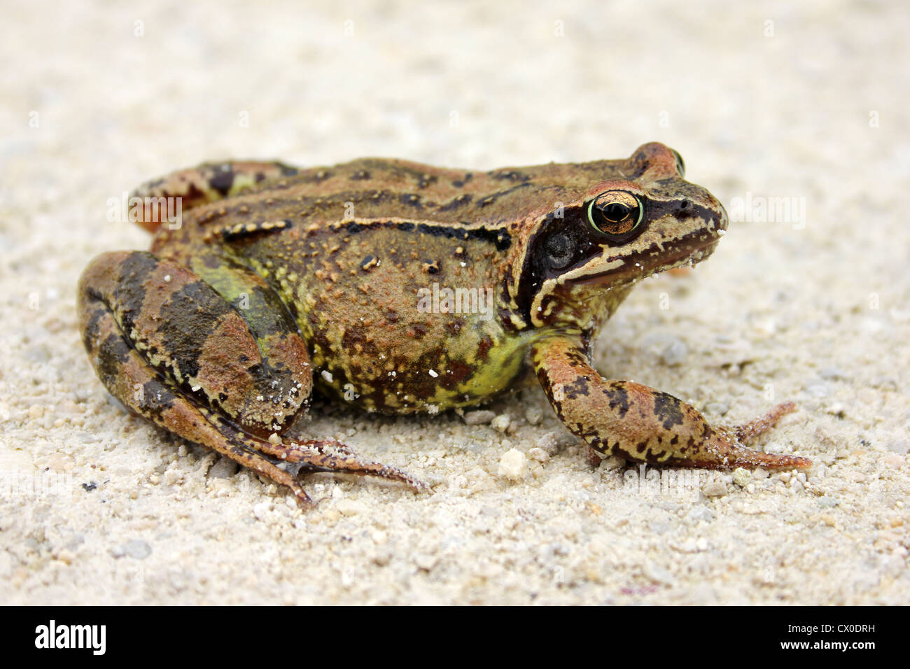Common Frog Rana temporaria - Stock Image