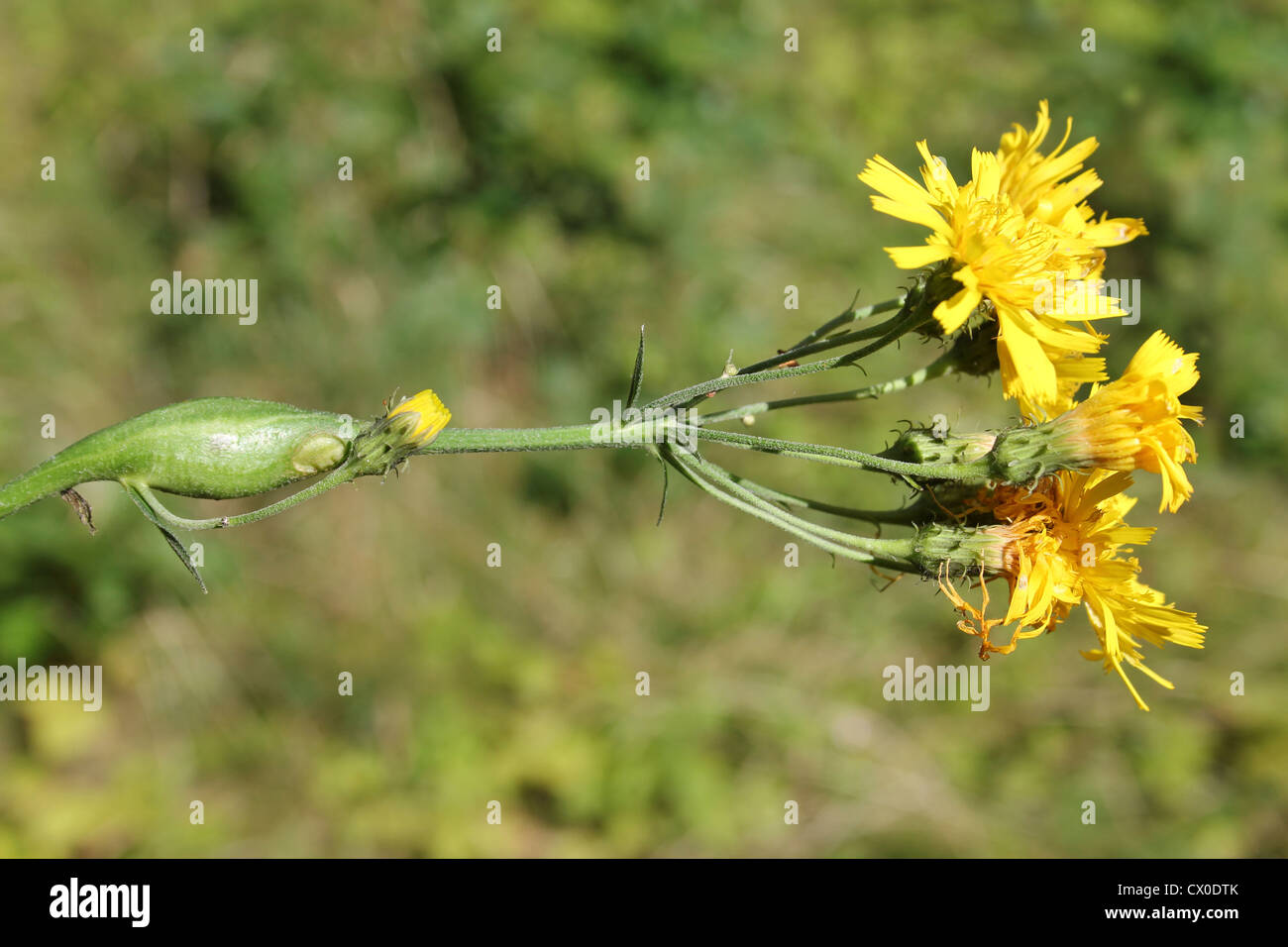 Stem Gall on Narrow-leaved a.k.a. Leafy Hawkweed Hieracium umbellatum caused by the Gall Wasp Aulacidea hieracii - Stock Image
