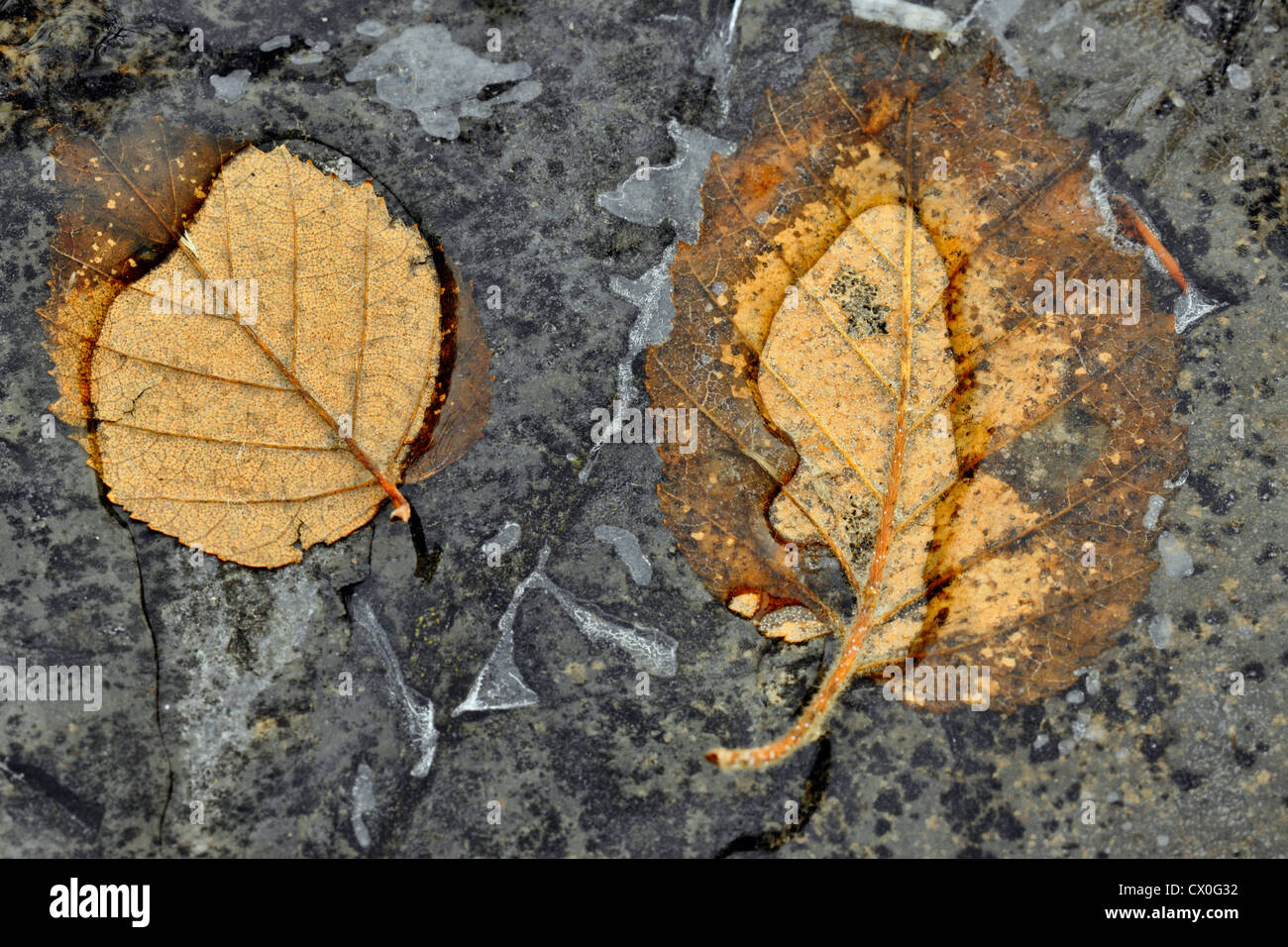 Birch leaves trapped in fresh ice on rock outcrop, Greater Sudbury, Ontario, Canada - Stock Image