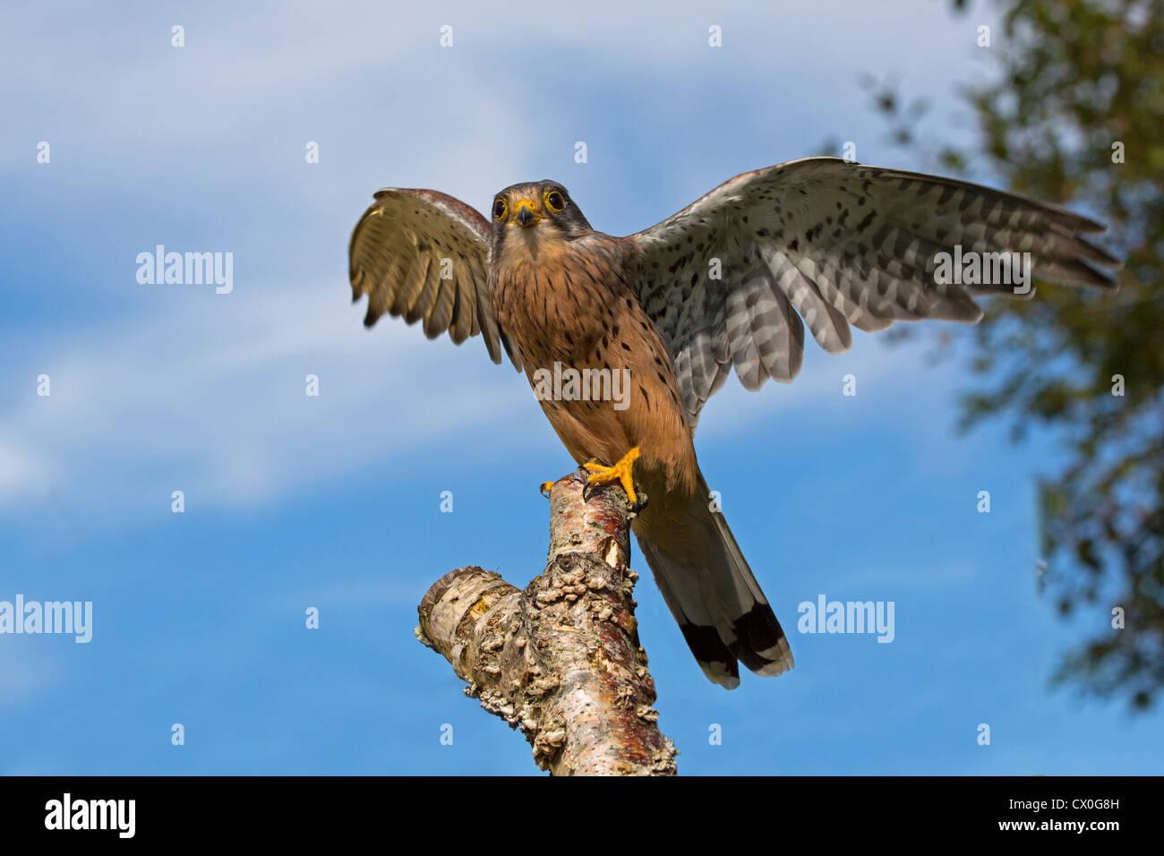Male Kestrel - Stock Image
