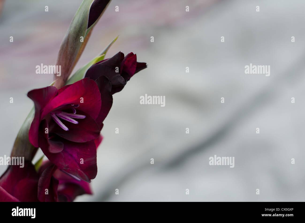A stem of burgundy-crimson Gladiola - Gladiolus Iridaceae with soft, grey background - Stock Image