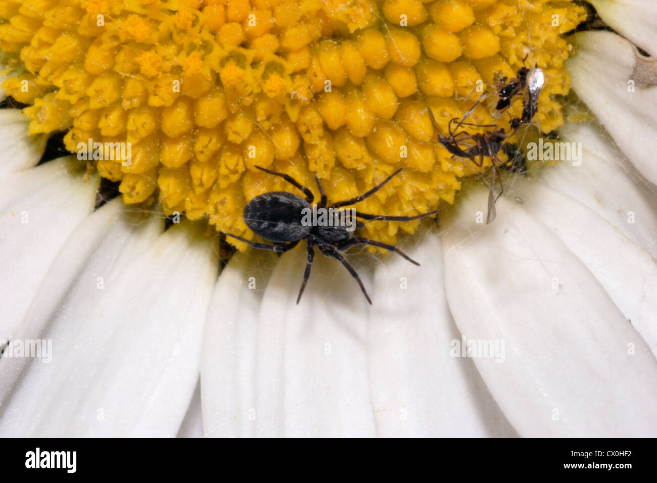 Common mesh-weaver / hackled-web weaver spider (Dictyna arundinacea : Dictynidae) in her tiny web on an oxeye daisy, - Stock Image
