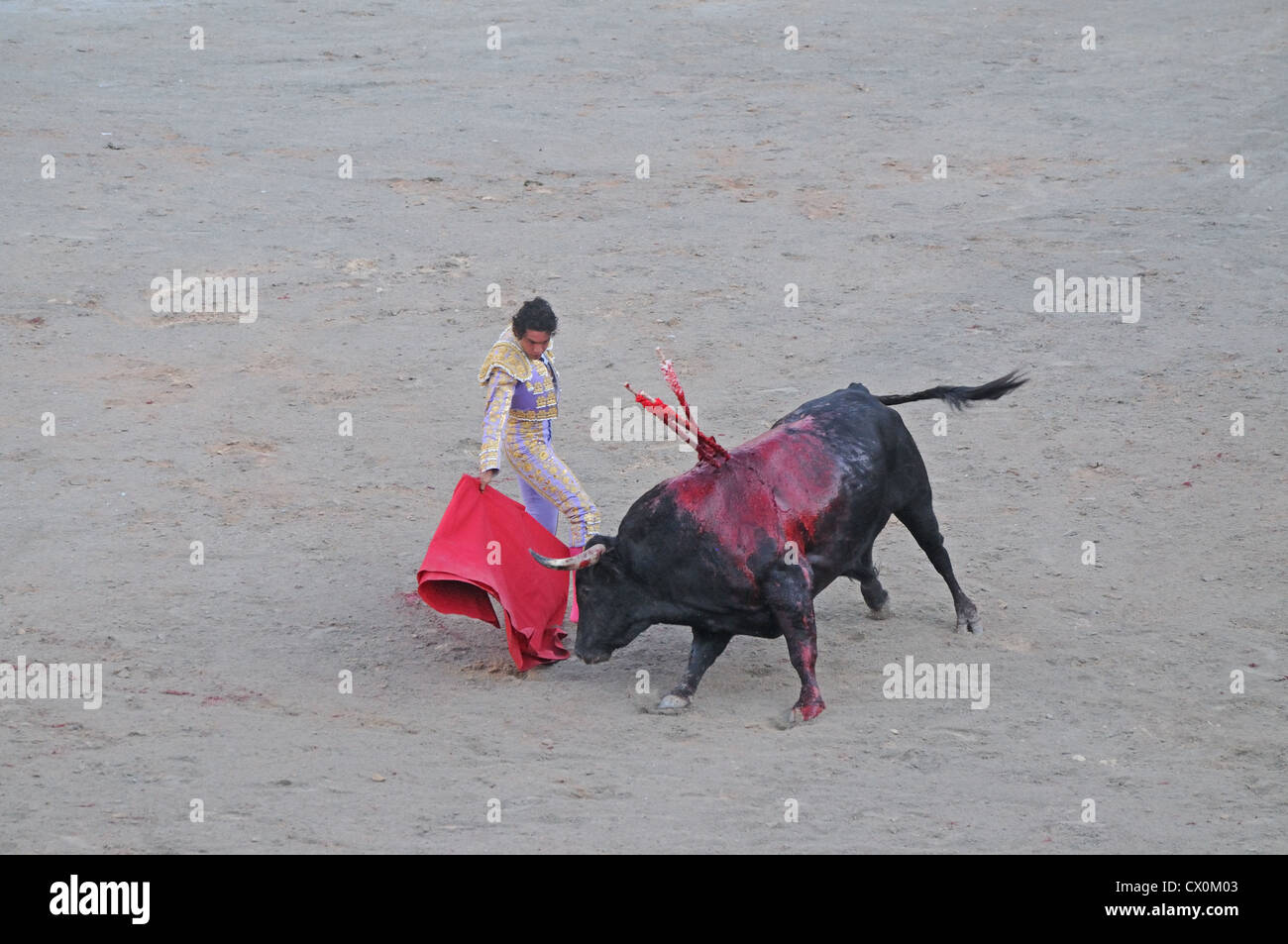 Wounded and bloody black bull with head down charges red cape of Matador in corrida bullfight in Roman Arena Arles - Stock Image