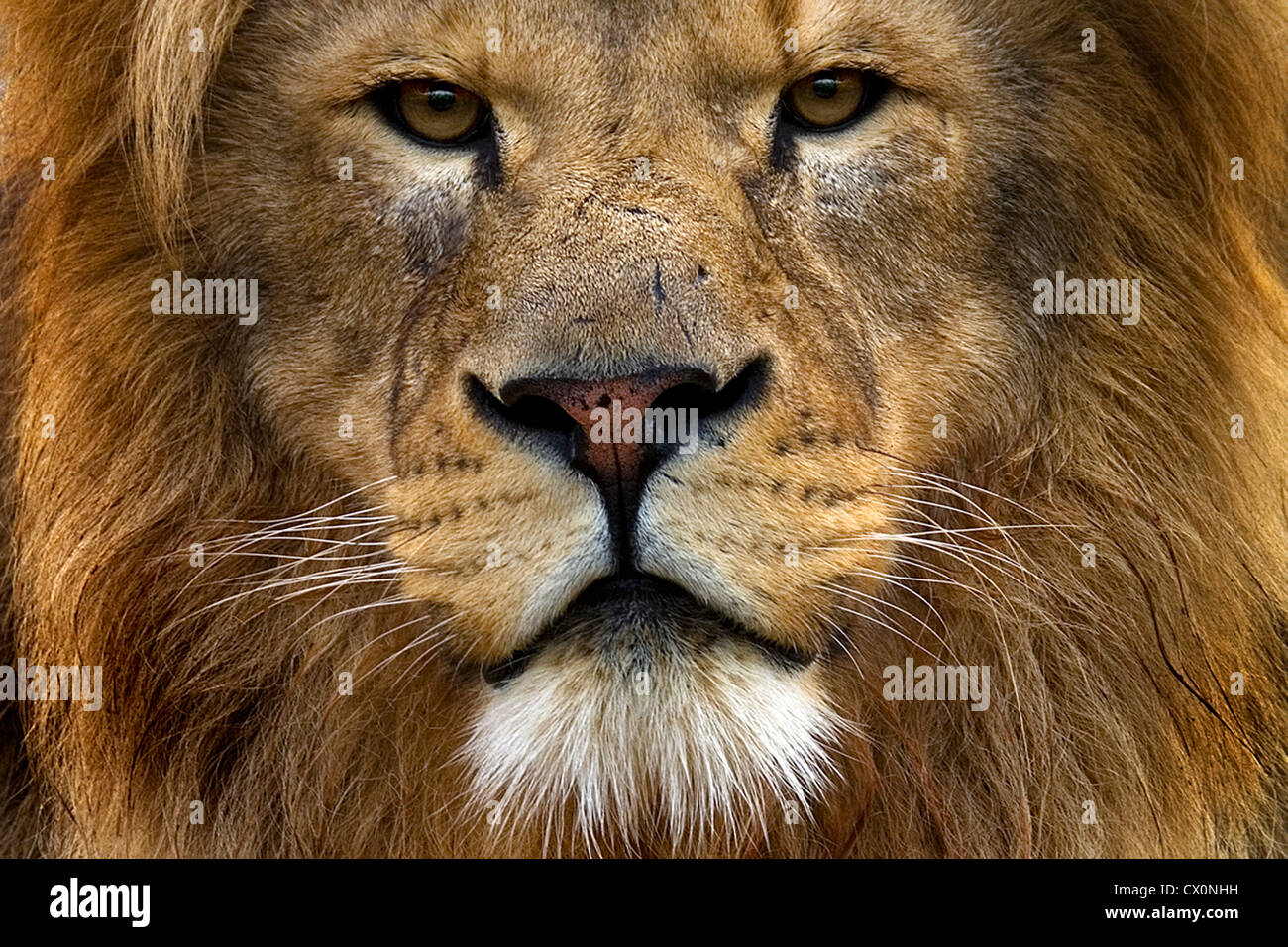 8k Animal Wallpaper Download: Close Up Portrait Of Male Lions Face Stock Photo: 50418749