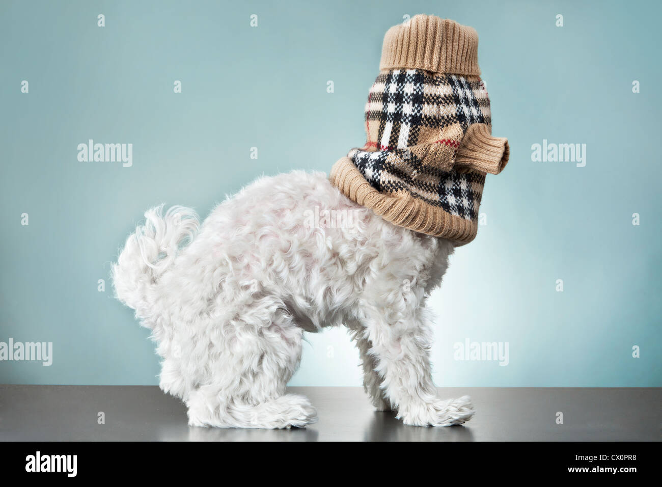Side view of fluffy white Maltese dog with tartan woollen accessory covering head - Stock Image