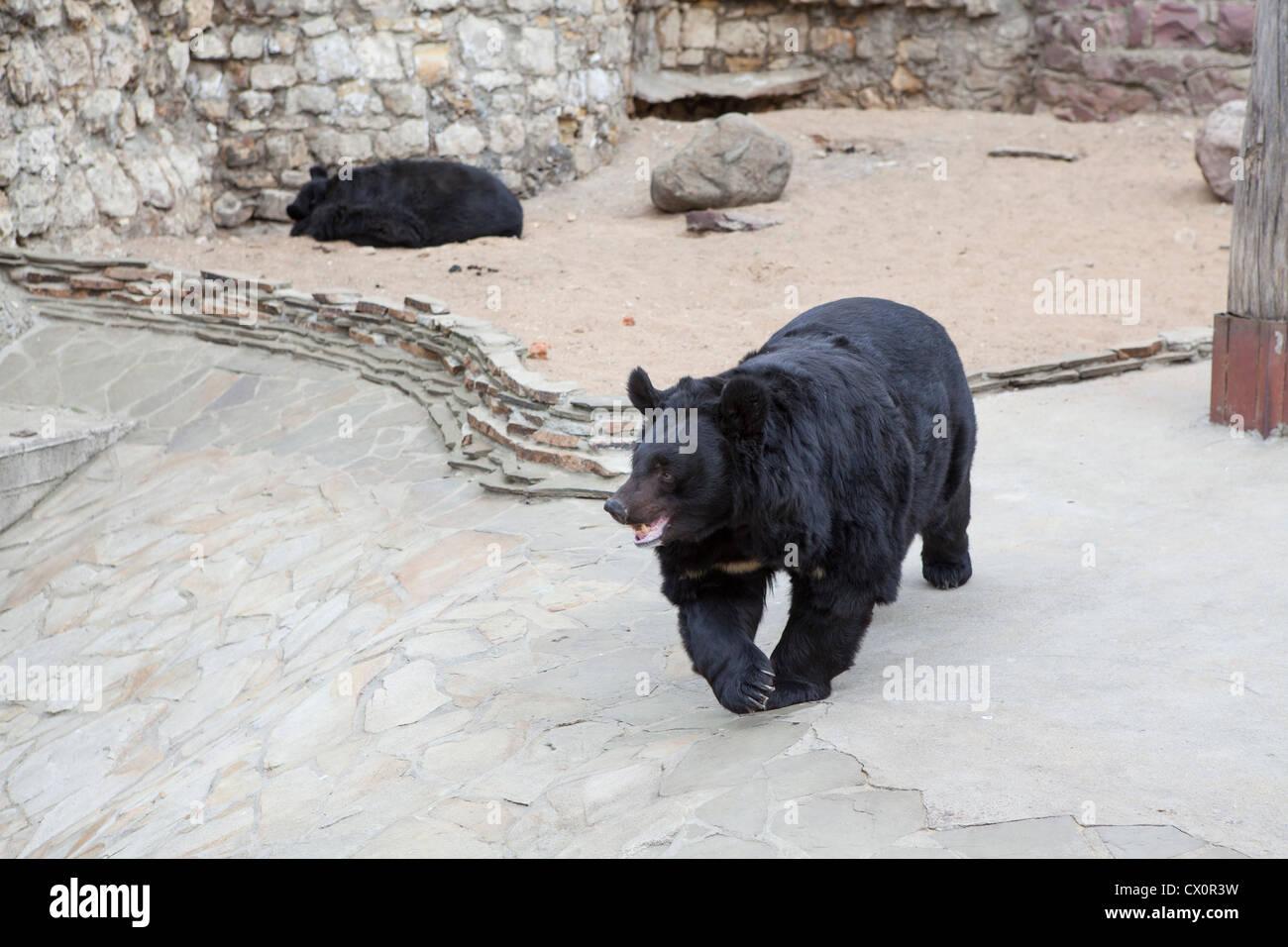 Ussuri Whitechest (Himalayan) bear in the Moscow zoo, Russia. Asian black bear, Ursus thibetanus - Stock Image