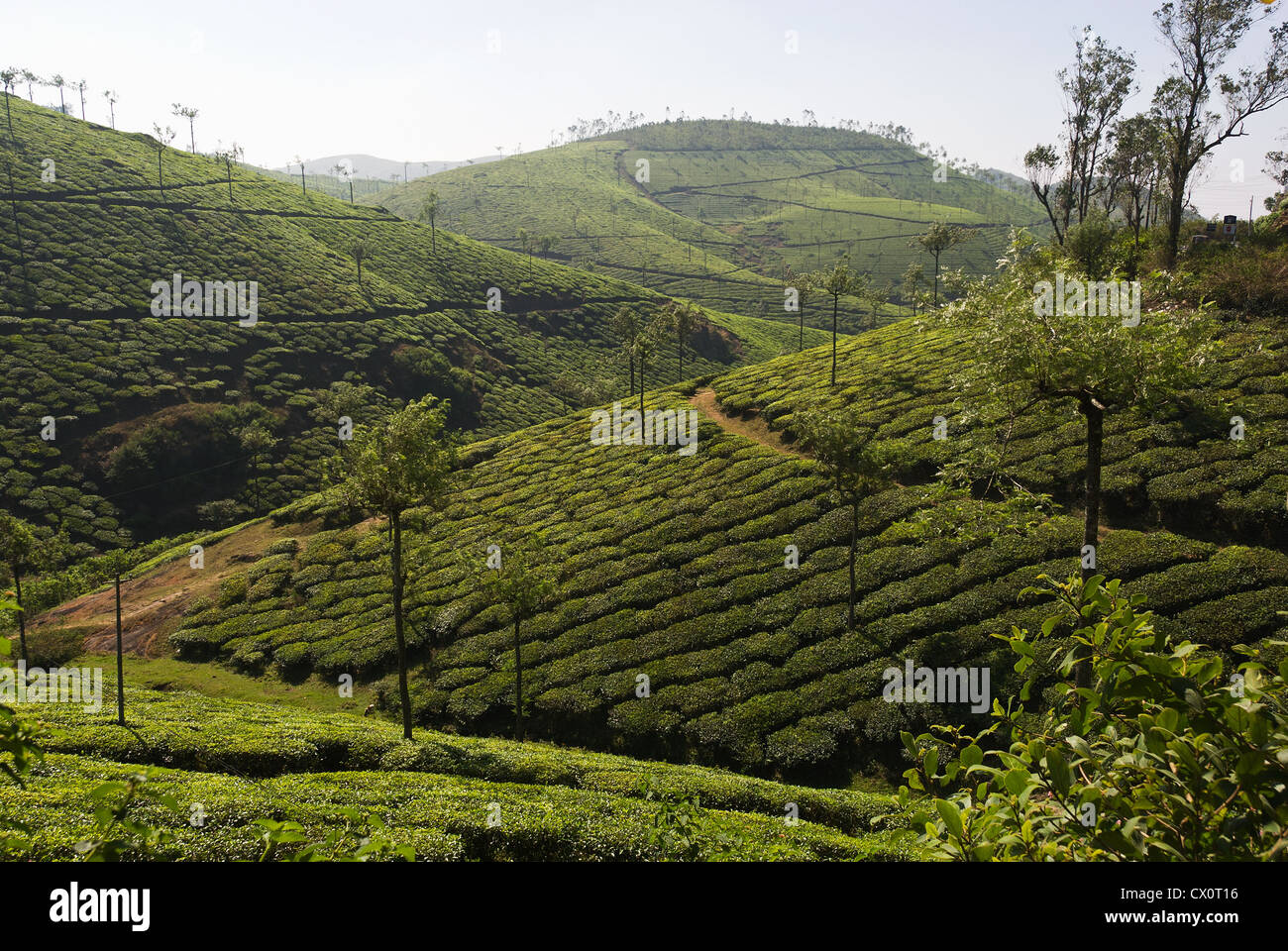 Elk201-3906 India, Kerala, Periyar, tea plantation - Stock Image