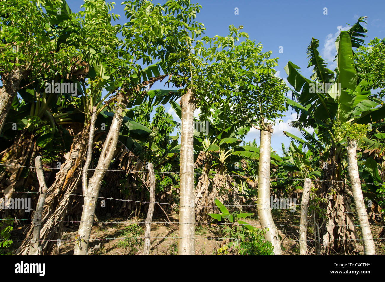 Banana plantation showing banana trees and barb wire fence made of old wood steaks, Boca de Yuma, Dominican Republic Stock Photo