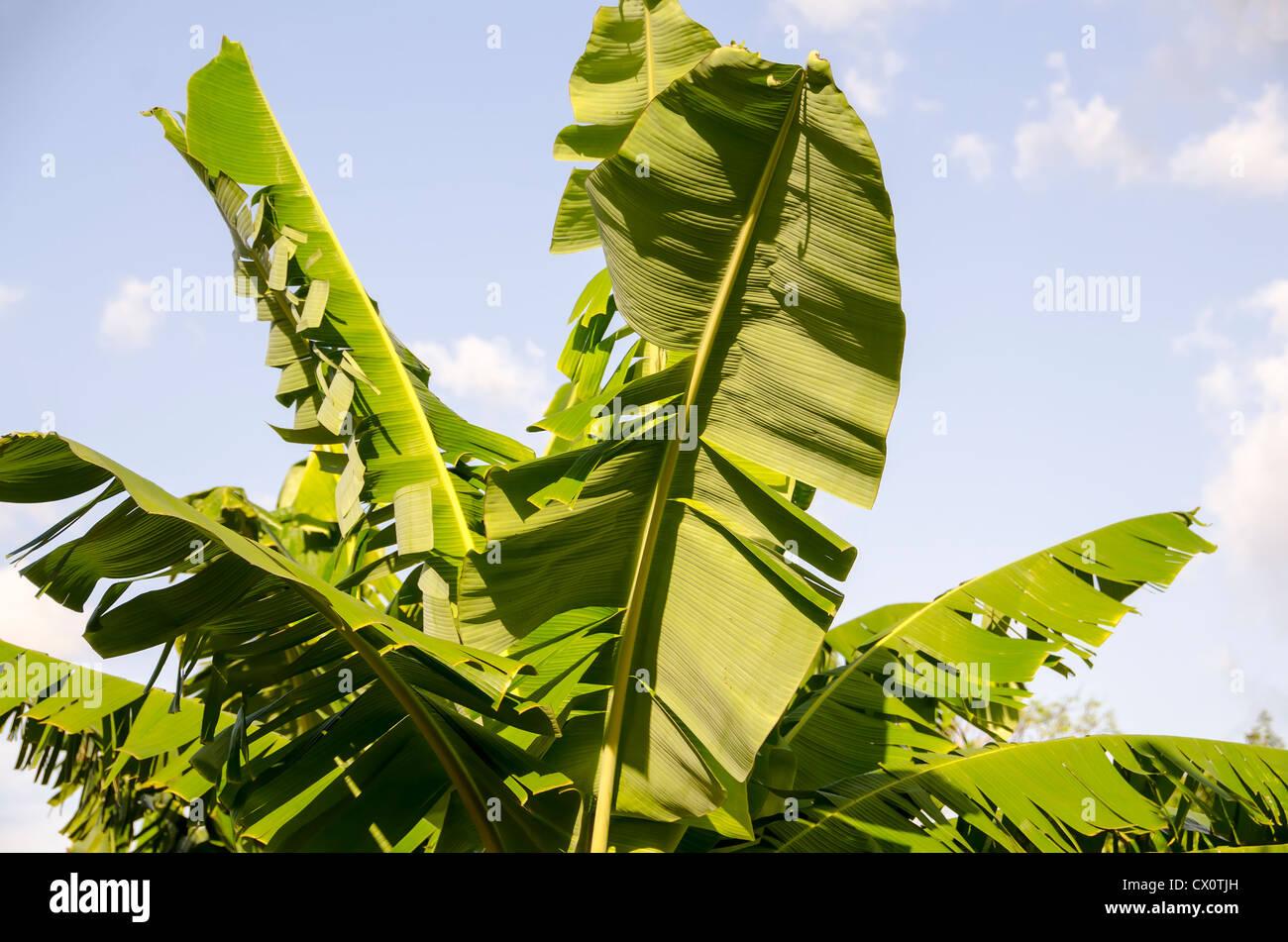 Closeup green banana leaves against blue sky nobody wop - Stock Image