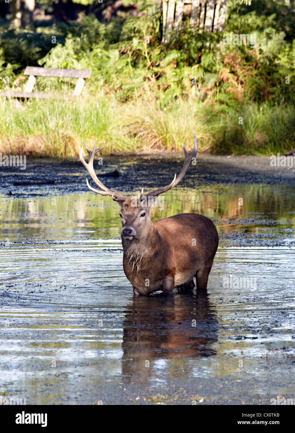 Stag In A Pond Richmond Park UK - Stock Image