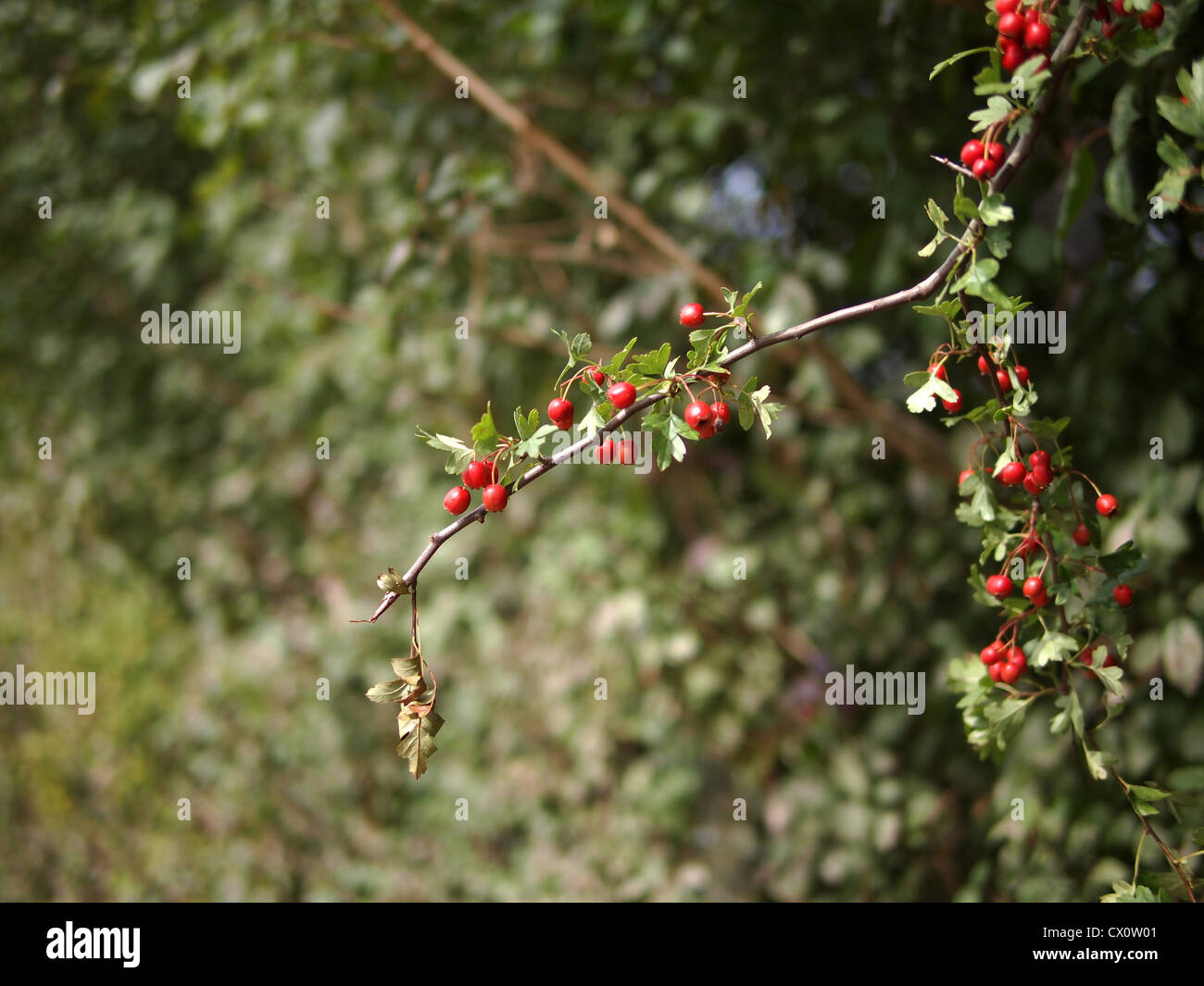 shrubbery summer - Stock Image