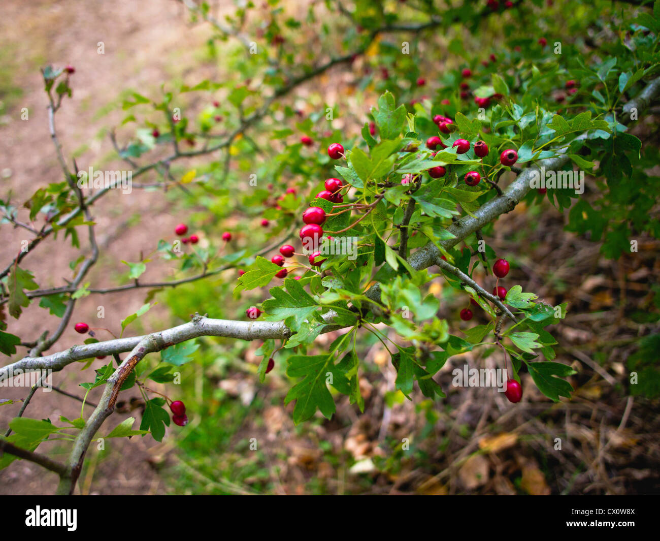 shrubbery, berries - Stock Image