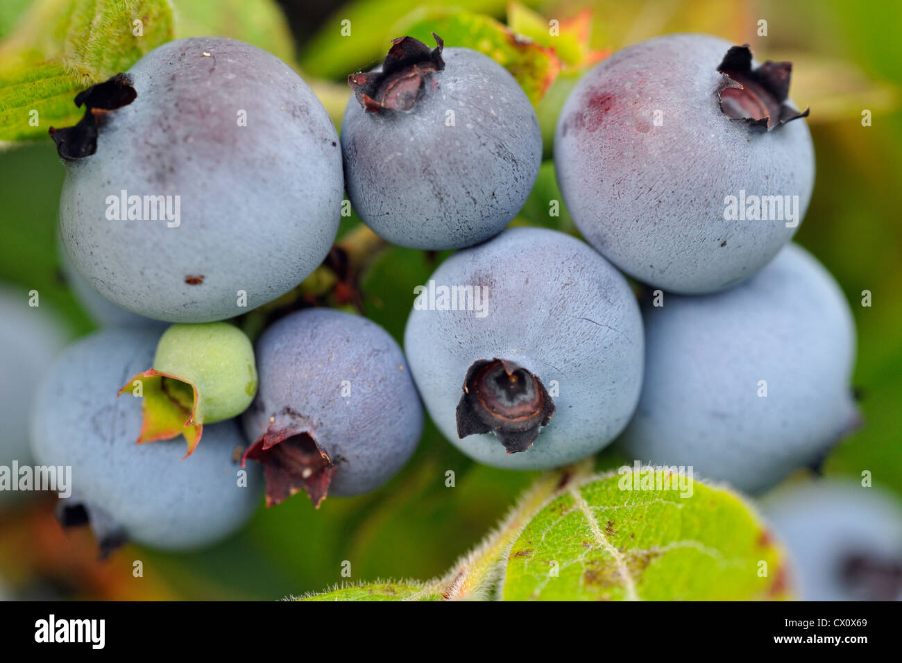 Lowbush blueberry (Vaccinium augustifolium) Ripe berries in a bumper crop, Greater Sudbury, Ontario, Canada - Stock Image