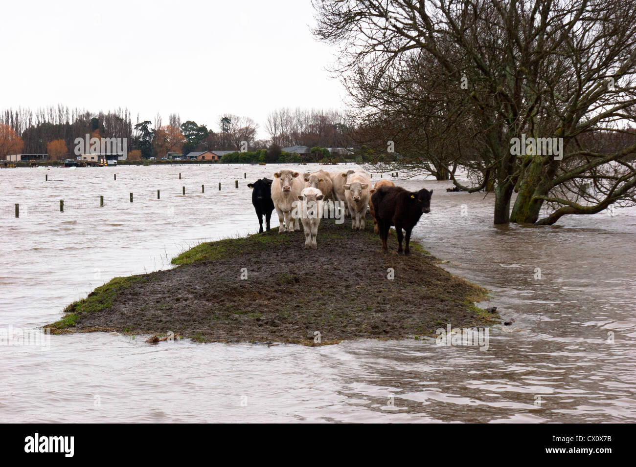Stranded: a group of cattle stranded by a flood: they all survived. - Stock Image