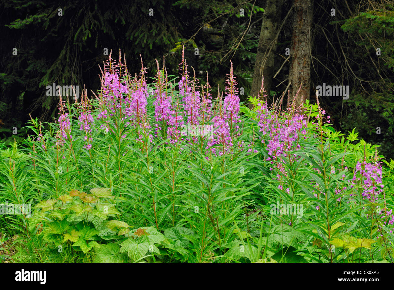 Fireweed (Chamaenerion angustifolium), Glacier National Park BC, Canada Stock Photo