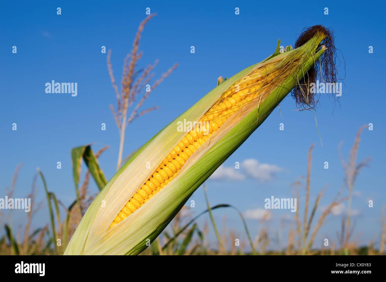 fresh raw corn on the cob with husk - Stock Image