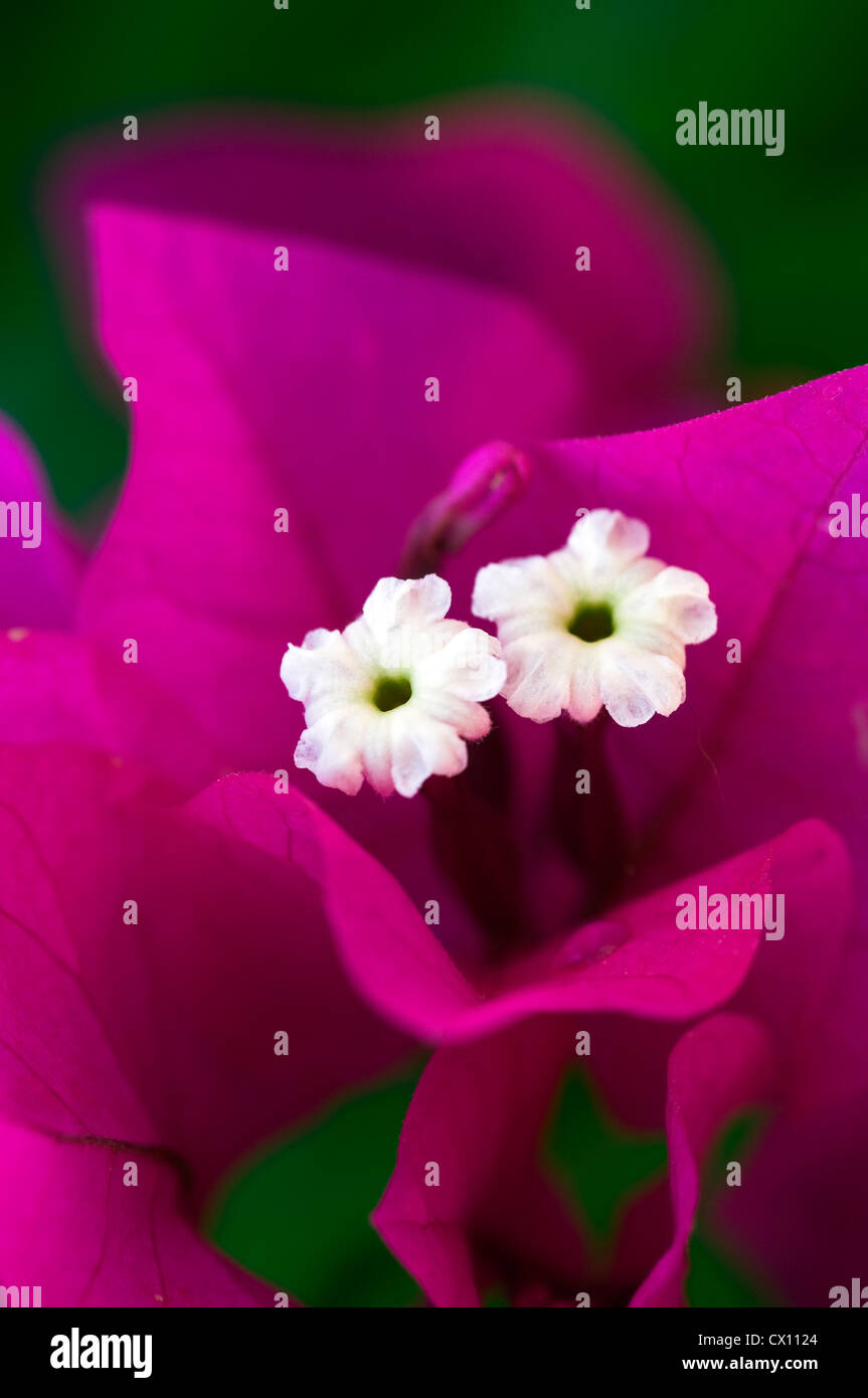 Close-up of white Bougainvilla flowers and purple bracts - Stock Image