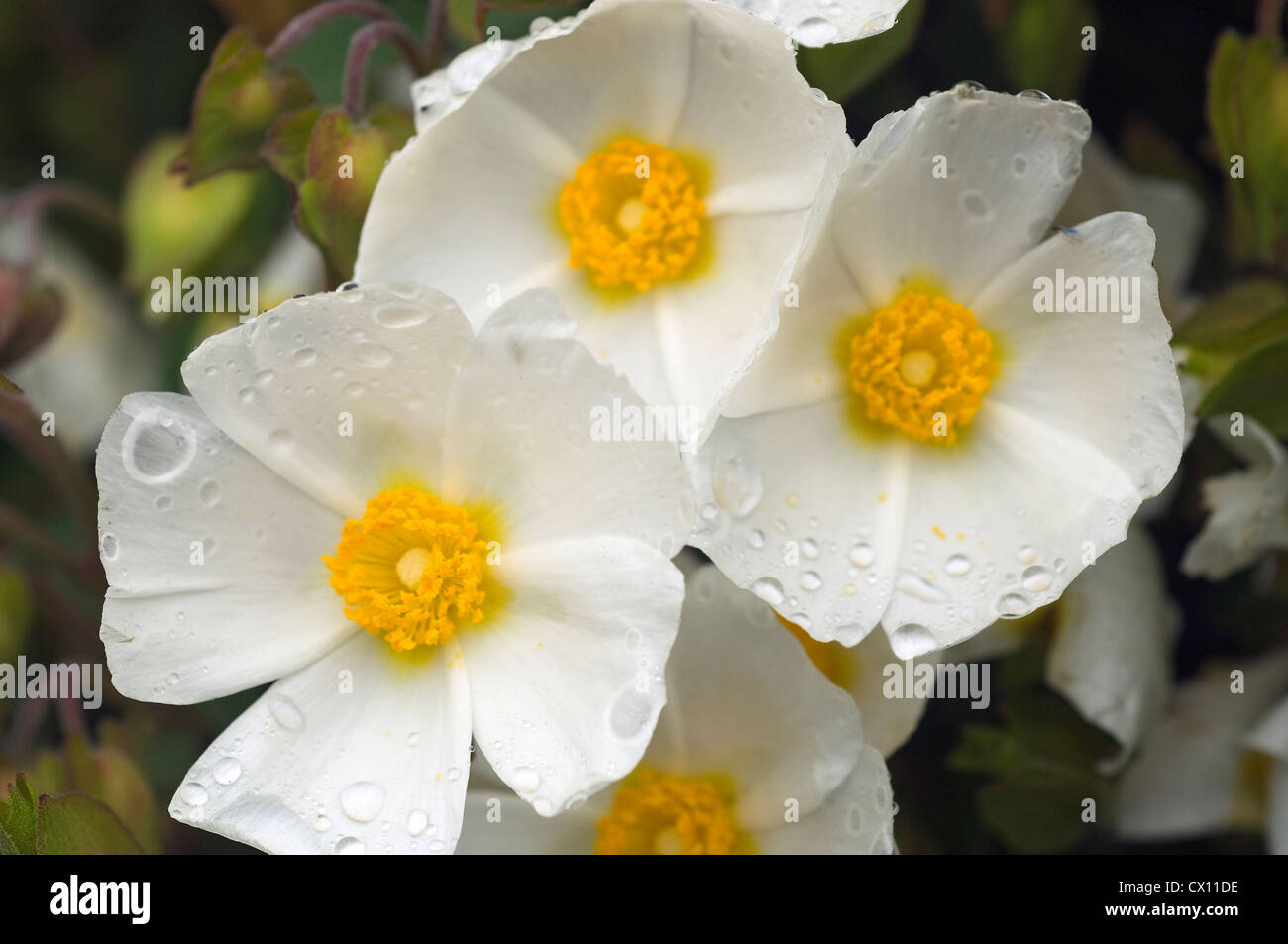 Close-up of Cistus salviifolius with raindrops - Stock Image