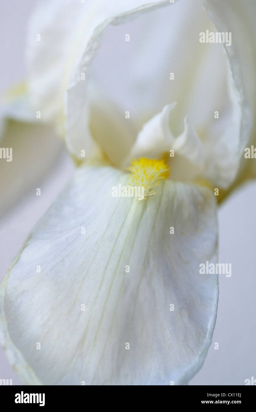 Detail of a White Iris bloom - Stock Image