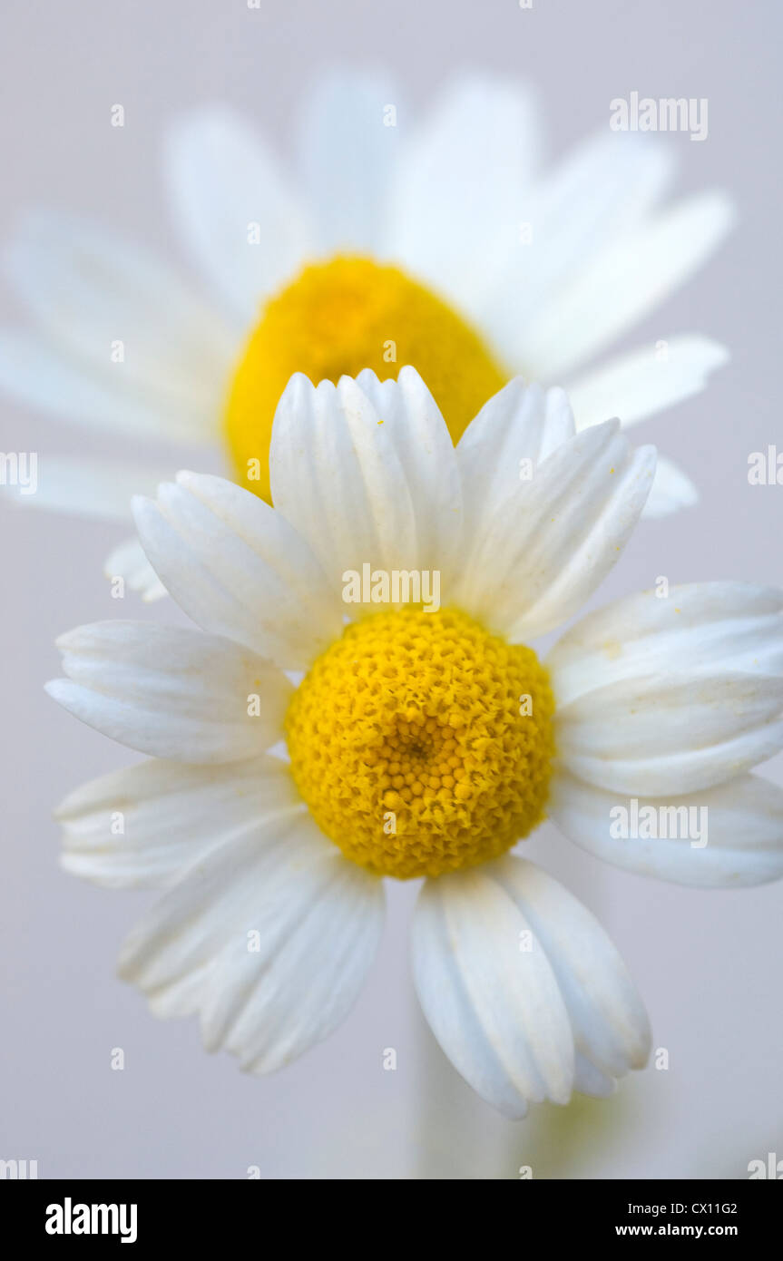 Close-up of two feverfew heads (Tanacetum parthenium) - Stock Image