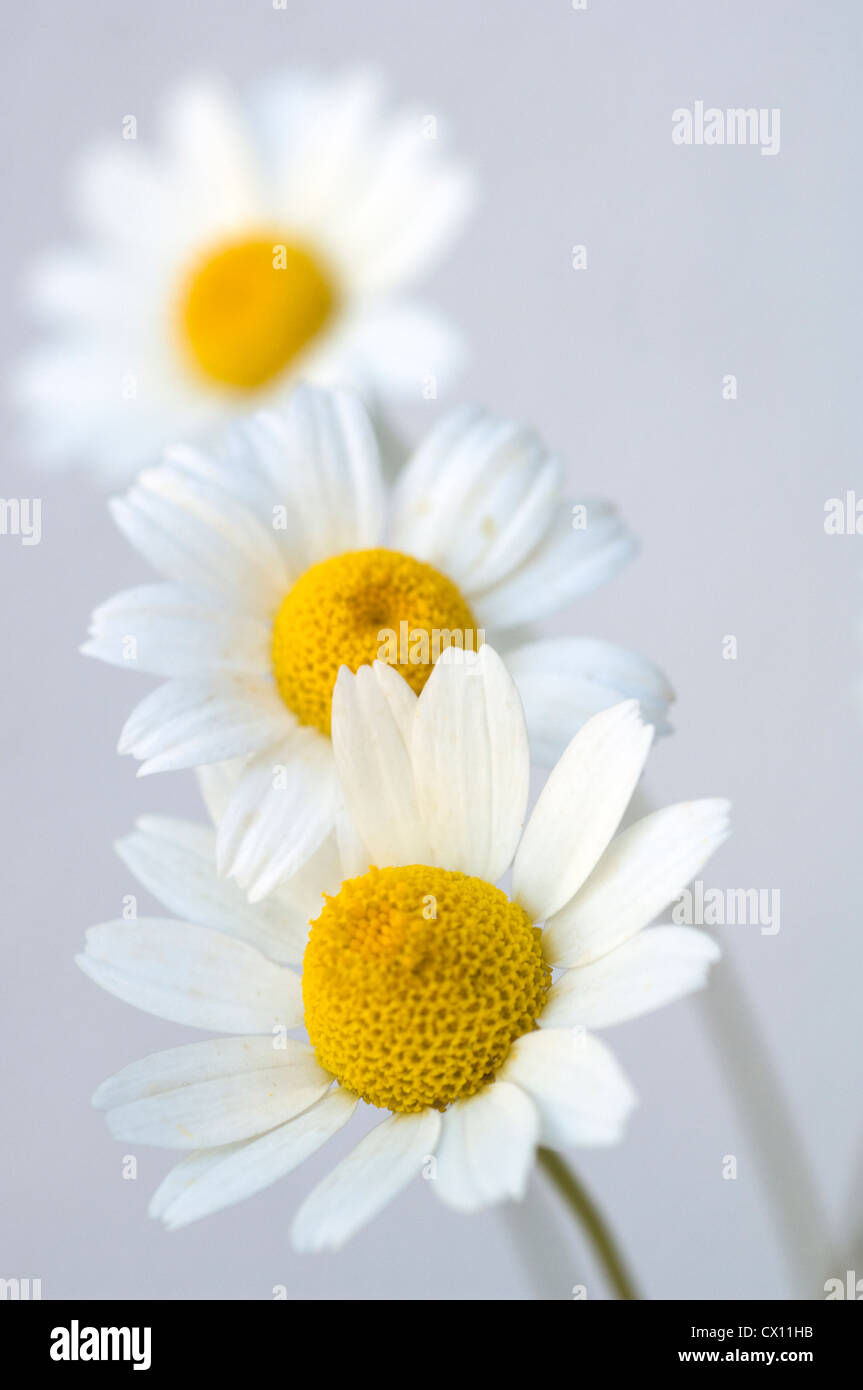 Close-up of three feverfew heads (Tanacetum parthenium) - Stock Image