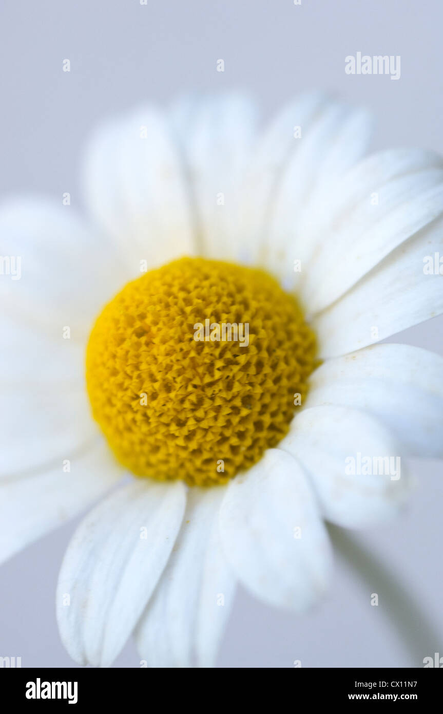 Close-up of feverfew head (Tanacetum parthenium) - Stock Image