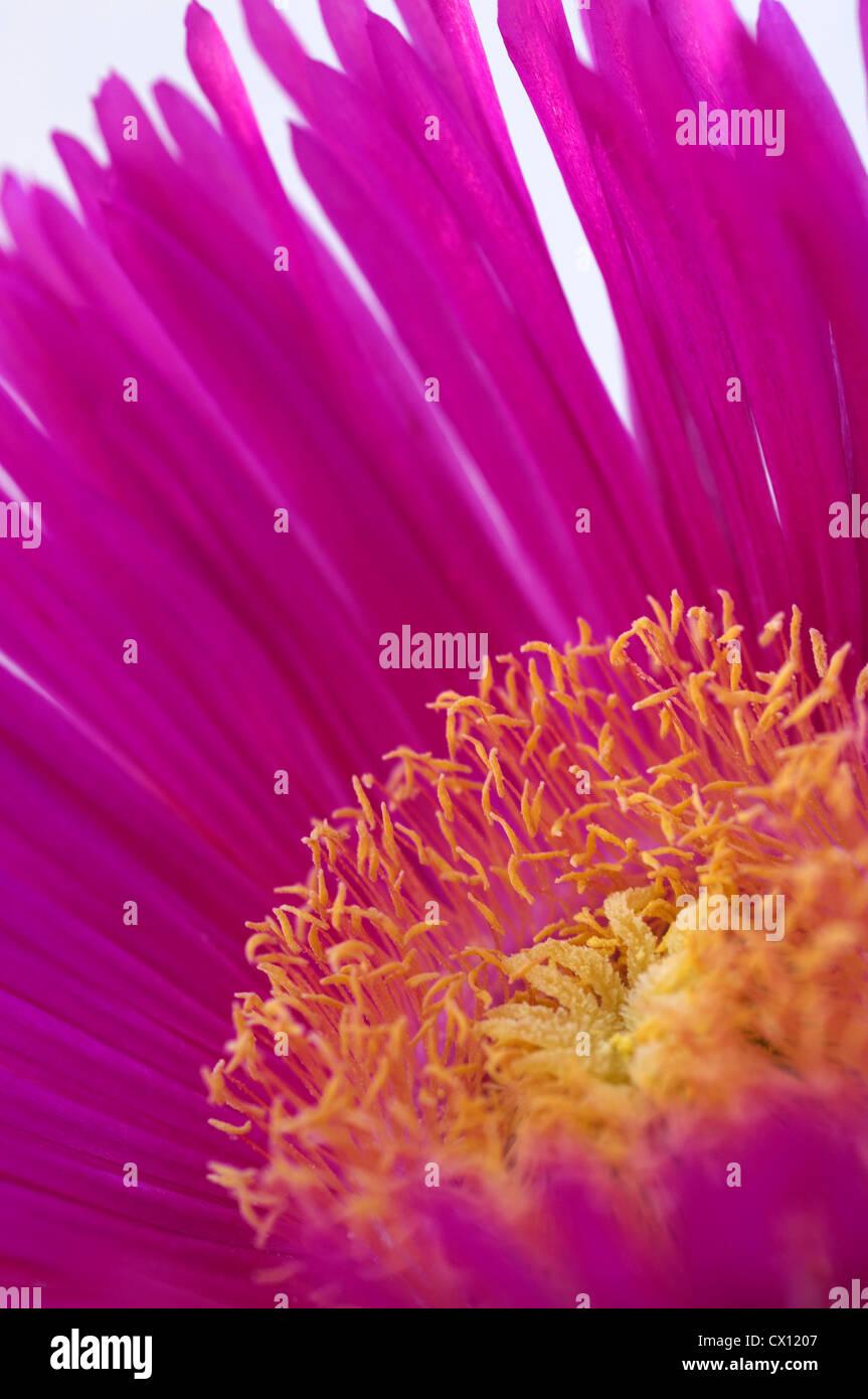 Close-up of Midday Flower (Carpobrotus acinaciformis) - Stock Image