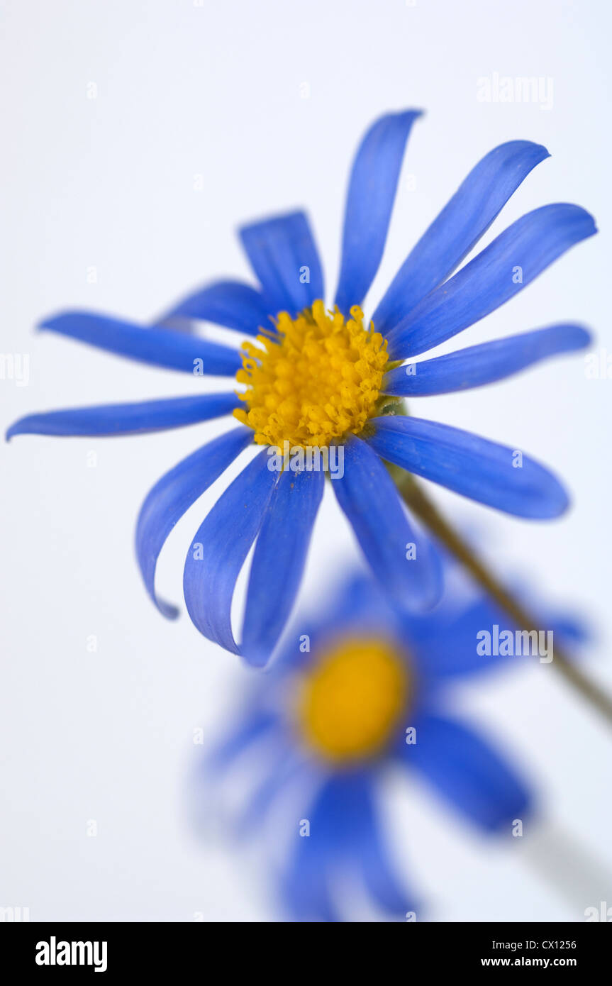 Close-up of Blue Daisy (Felicia amelloides) Stock Photo