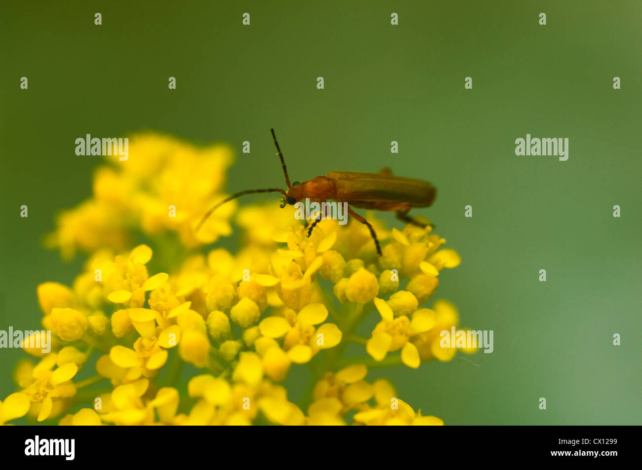 Common red soldier beetle (Rhagonycha fulva) on yellow blooms - Stock Image