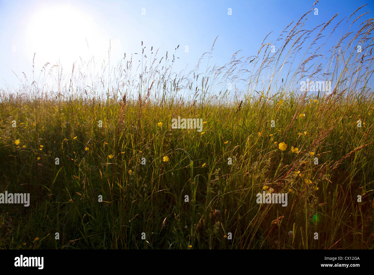 Sky and field of tall grass - Stock Image