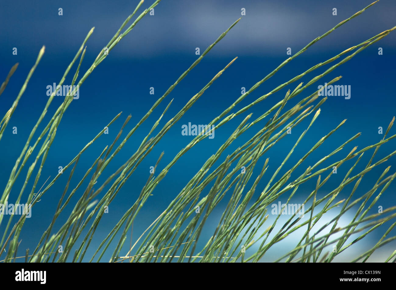 Closeup of grass blades on the beach in front of the blue and turquoise colored sea - Stock Image