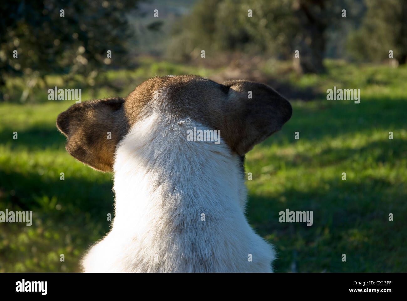 Back part of a mongrel dog´s head - Stock Image