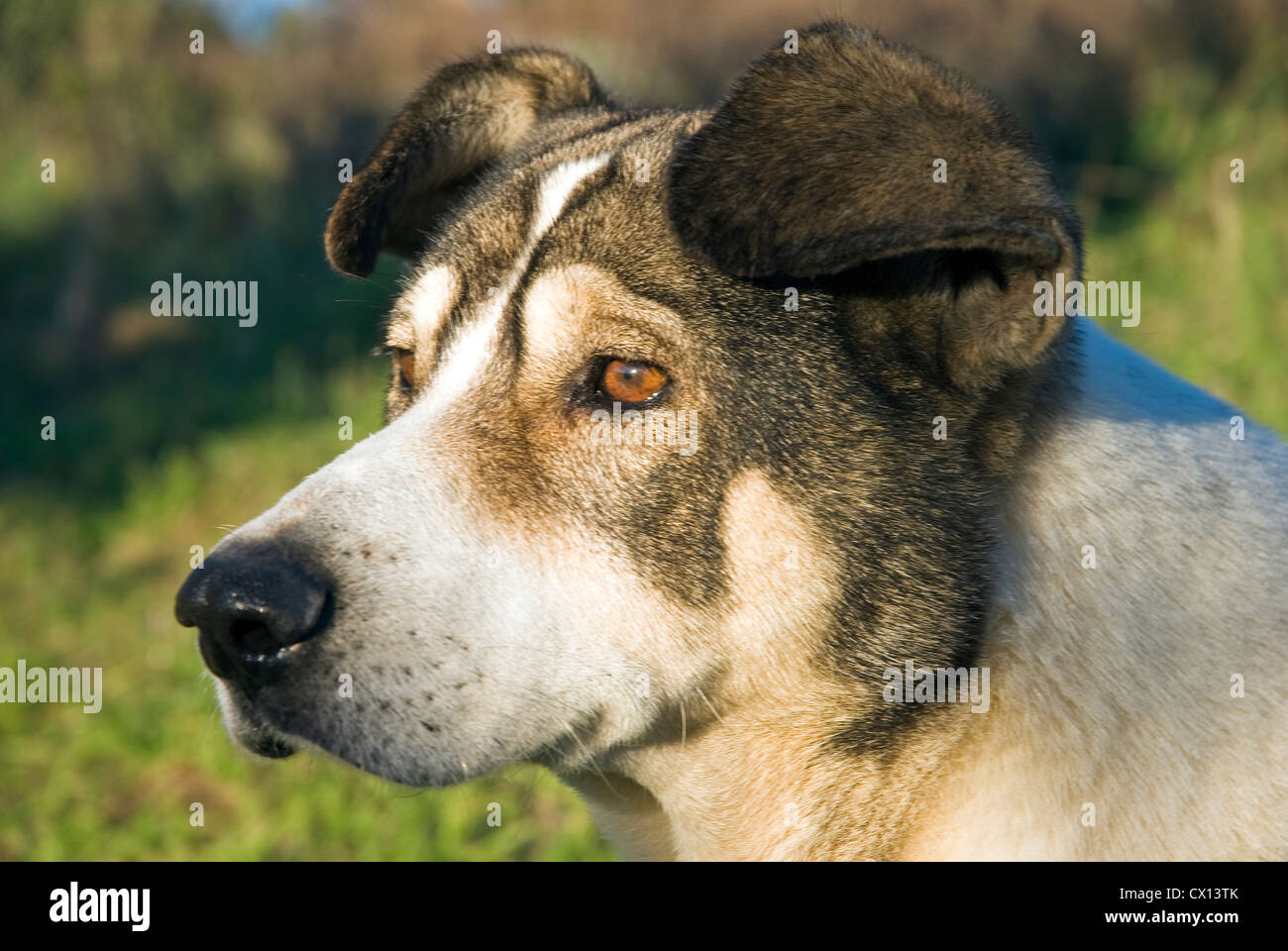 A black and white mongrel dog in profile - Stock Image