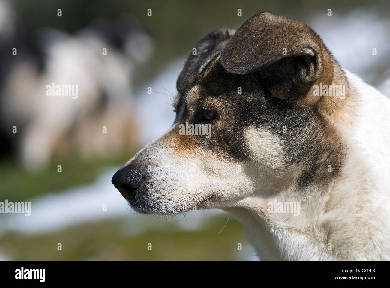 A black and white mongrel dog in profile with snow fields in the background - Stock Image