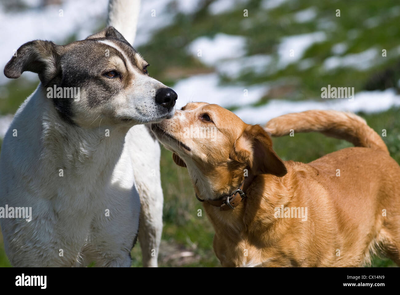 Encounter of two dogs sniffing at each other - with snow fields in the background Stock Photo