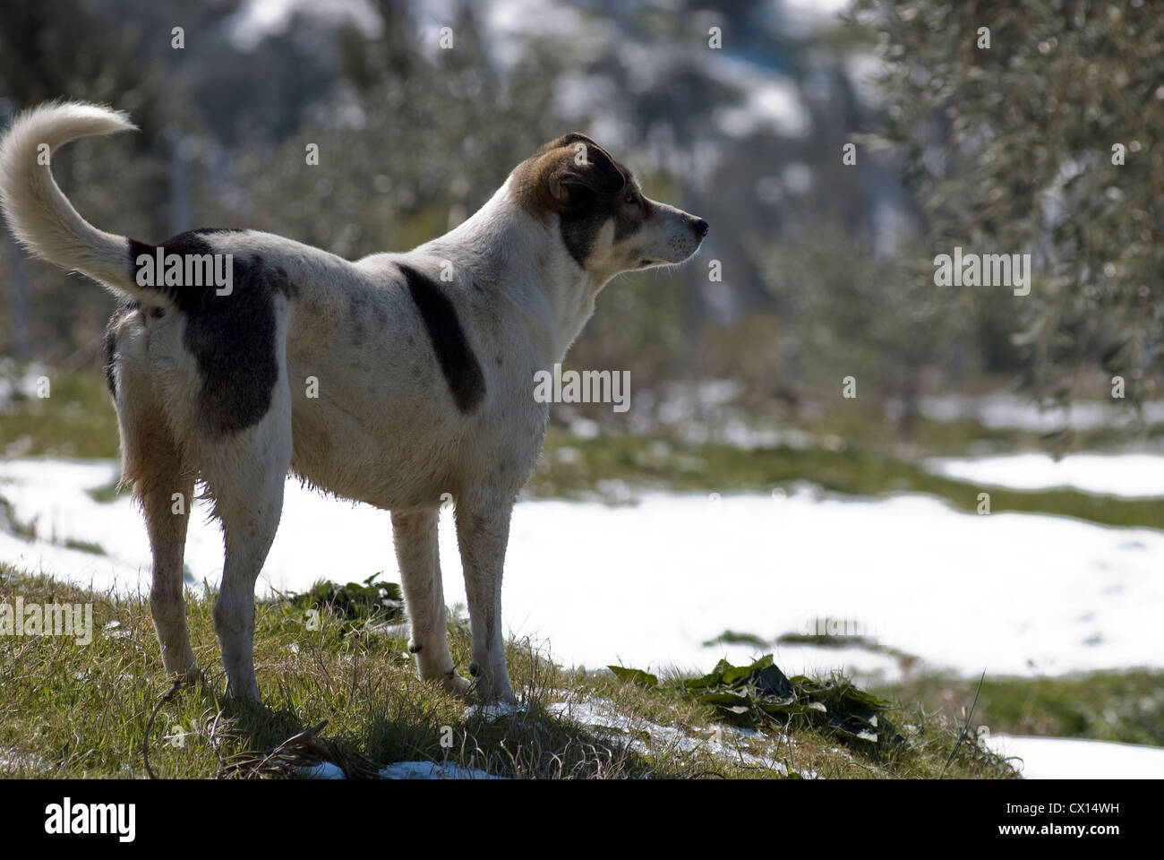 Mongrel dog standing in snowy landscape (Pelion, Greece) - Stock Image