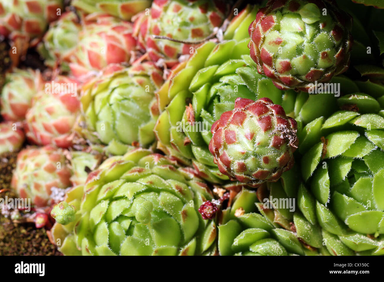 Succulent plant of the genus Sempervivum, also known as Hens and Chicks. - Stock Image