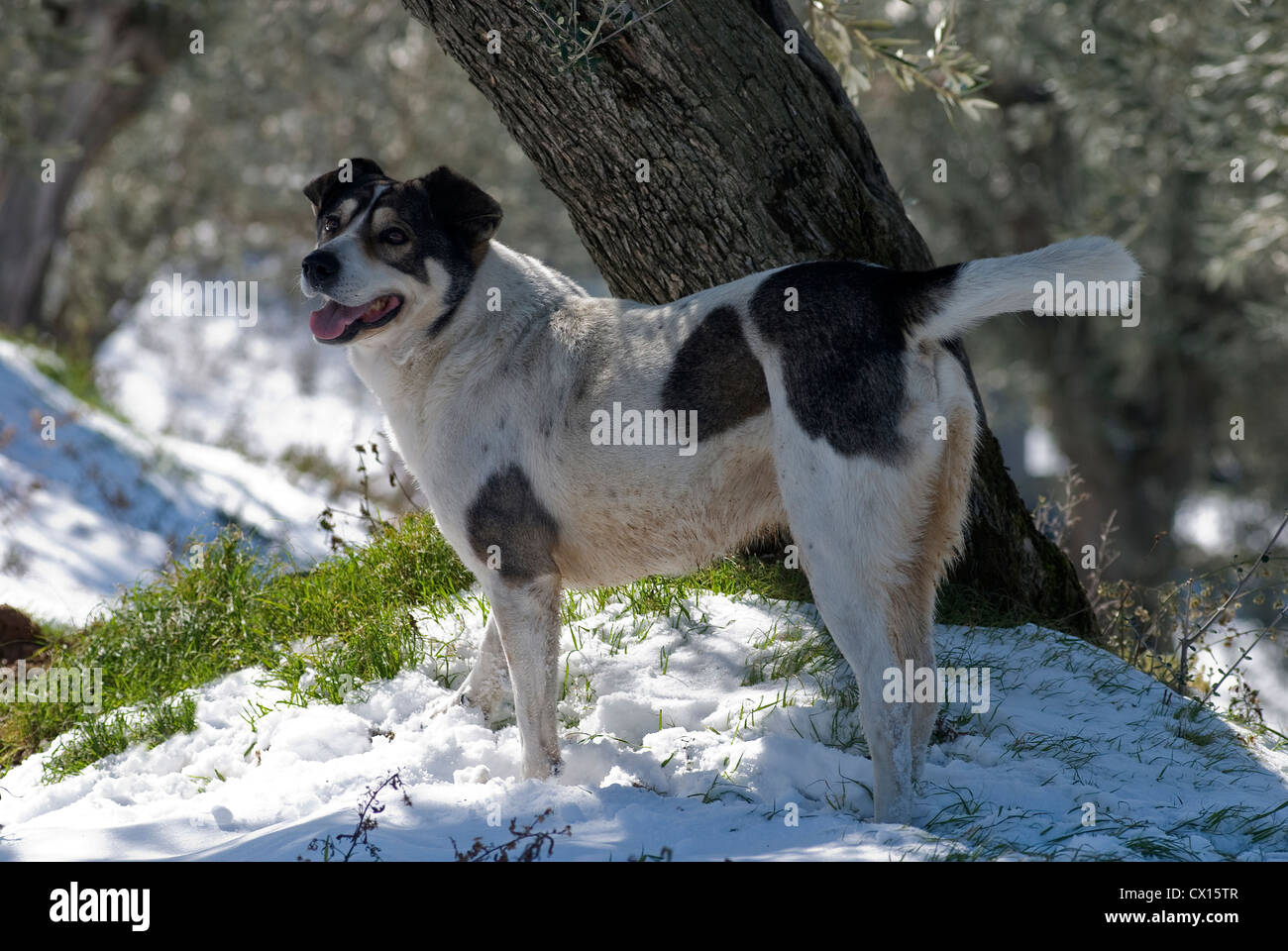 Mongrel dog standing in snowy olive grove (Pelion, Greece) - Stock Image