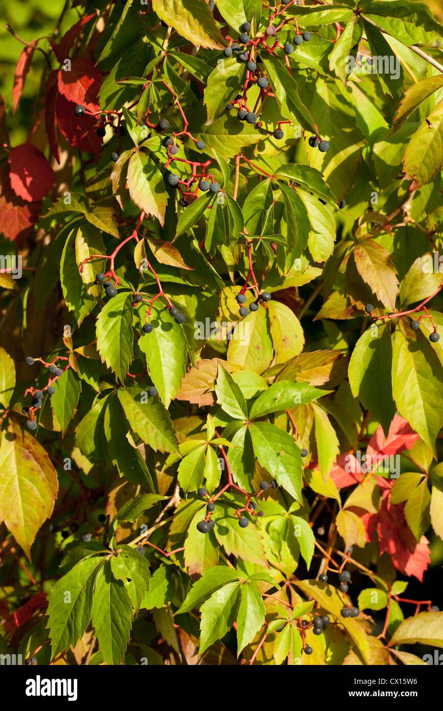 creeper Boston ivy (Parthenocissus tricuspidata) as background - Stock Image