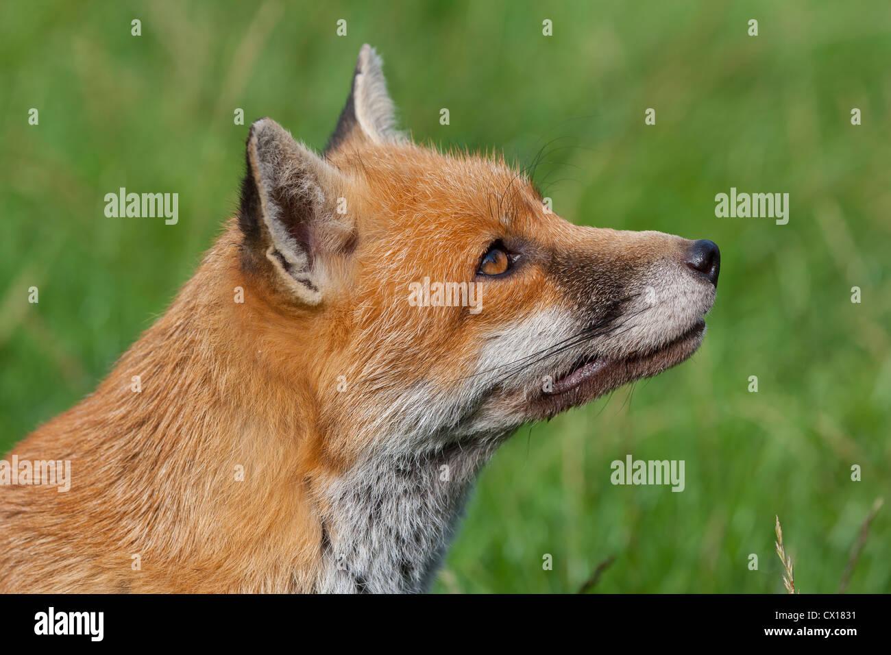 Red Fox. Vulpes (Carnivora) - Stock Image