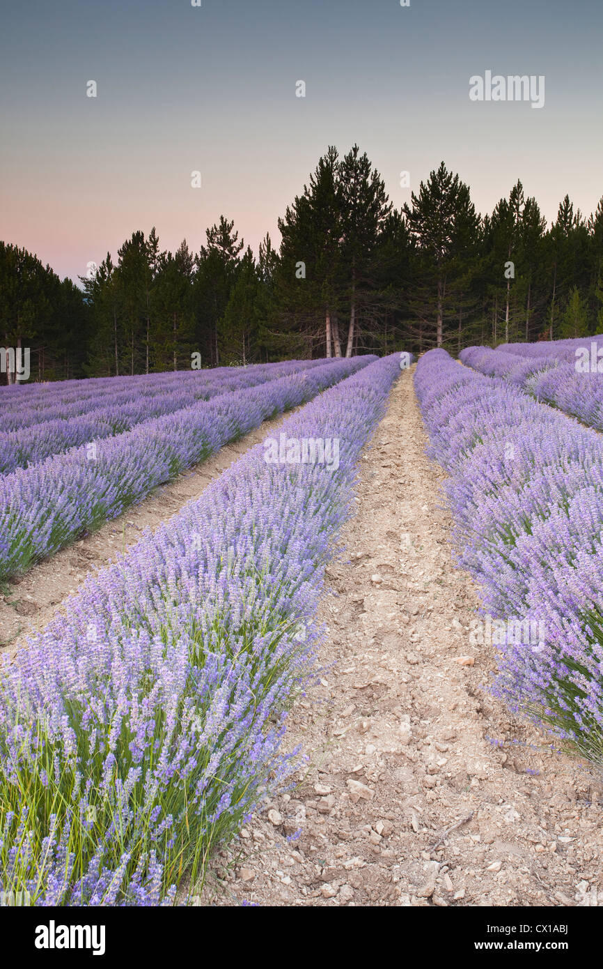 Lavender fields near to Sault at dawn. Stock Photo