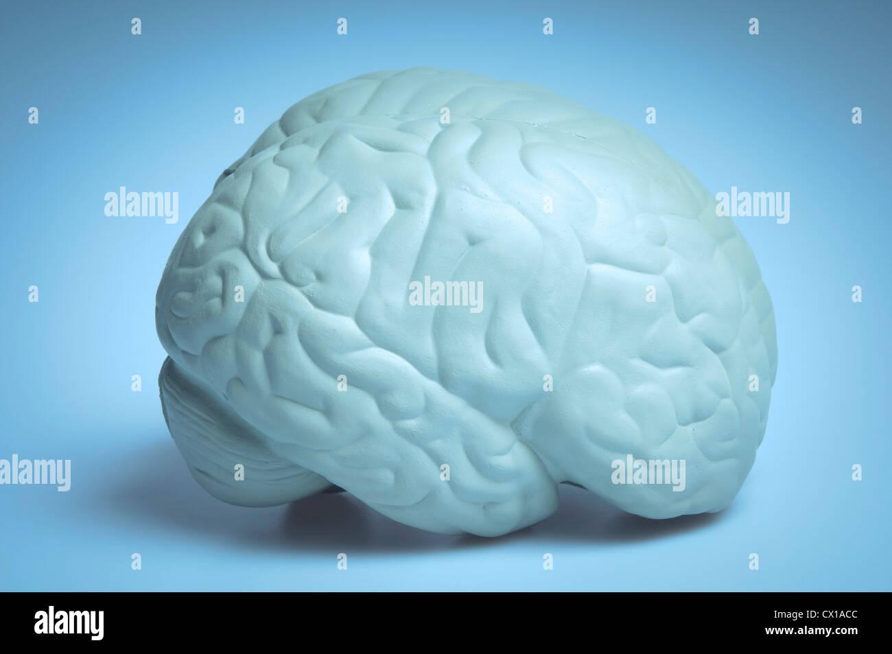 human brain plastic model - Stock Image